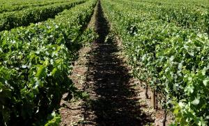 Vineyard For Sale Renmark South Australia